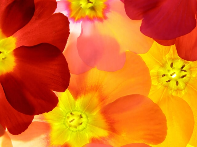 Yellow and red petals of flowers