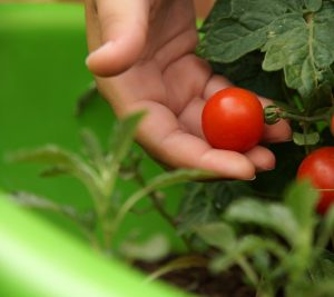 hand holding a tomato on a vine